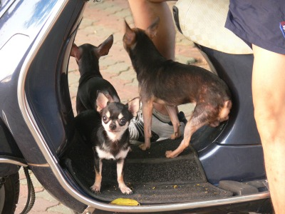These small pet dogs are not the dog meat type, these pet dogs go around town standing on the step of a step through motorbike. These 3 small dogs are lucky, as not a large dog and considered good for eating, as there isn't much meat on these ones anyway.