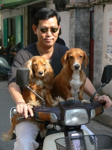 Vietnamese man takes his 2 beautiful pet dogs on the motor bike. Both have their front feet on handle bars of the motorbike.