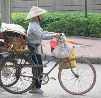 Riding a bicycle this Vietnamese chicken farmer comes into town (Hanoi) selling her livestock - chickens door to door or to usual clients.