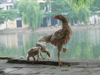 Mummy chicken with her young on side of Chuc Bach Lake (Hồ Trúc Bạch). Because land is of a premium, these chickens were housed in cages or run wild during the day.