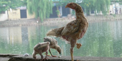 Mummy chicken with her young on side of Truc Bach Lake (Hồ Trúc Bạch). Because land is of a premium, these chickens were housed in cages or run wild during the day.