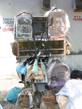 This Bird breeder has loaded up his motor bike with a variety of different caged birds to sell at Bird Markets which are held all over Hanoi. While waiting for customers they are always totally engrossed in tending to their birds. If you are interested, it is best to ask a local what day and where are they held.