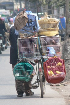Travelling Bird Salesman on a bicycle pushes his bike laden with a variety of different birds heading for different bird markets or favorite spots to sell his birds in Hanoi. No doubt this requires quite a balancing act to pack and stack these cages safely.