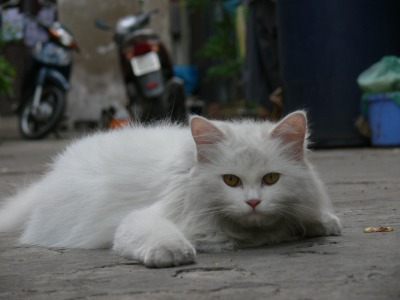 Fluffy, Fluffy, where are you Fluffy ?? This is a lucky cat who is a cute fluffy pet who roams free in Hanoi, Vietnam.