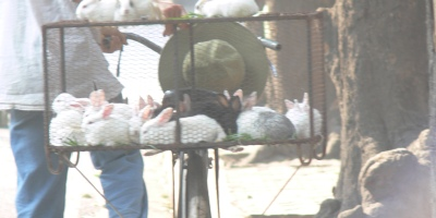 Rabbit farmer bikes into town to sell on the side of a busy road in Hanoi in early evening while people drive past to go home.