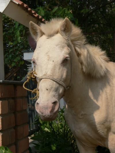 The blue-eyed pony I met one day in Hanoi.