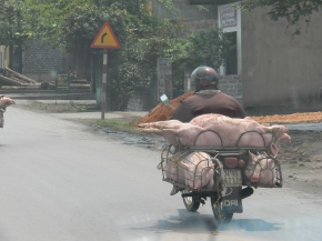 A convoy of 3 pig transporters all had 4 live pigs on each motor bike. Not the most comfortable ride and not sure what would be the best position - in a tiny cage or laying flat on my back ?? Think I will choose riding the bike. Photographed out of Hanoi City.