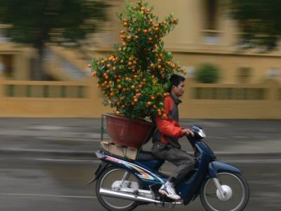 Kumquat delivery late for delivery (pre 2007 helmet law), Hanoi, Vietnam.