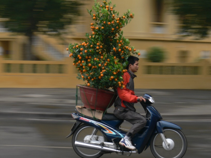 Kumquat delivery late for delivery (pre 2007 helmet law), Hanoi, Vietnam.