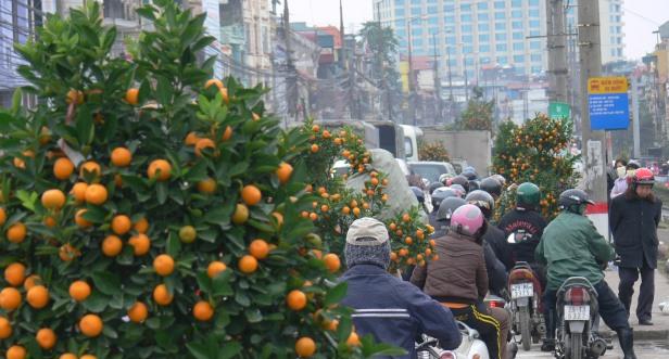Traffic jam showing at least 6 kumquat trees on the move.
