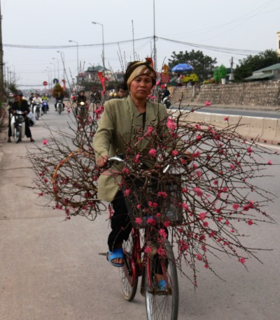 Peach blossom sales person, brings branches for sale on bicycle into Hanoi before Tet.