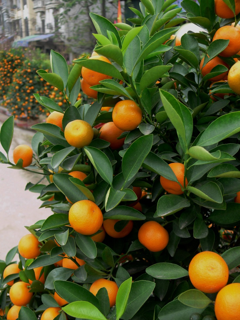 Kumquat tree full of beautiful fruit filled with good blessings for the coming year, Hanoi, Vietnam.