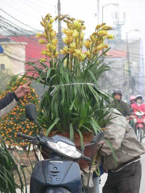 Huge orchid plant for Tet gets tied down on back of motorbike., Hanoi, Vietnam.