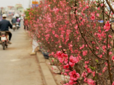 Flowering Peach blossoms line this street for sale in Hanoi.