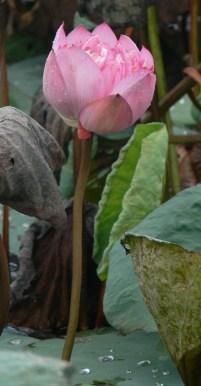 Lotus flower growing in Hanoi, Vietnam