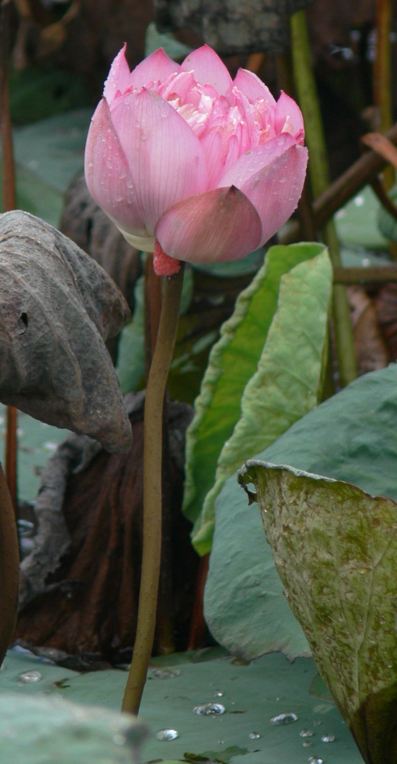 Lotus flower growing in Hanoi, Vietnam