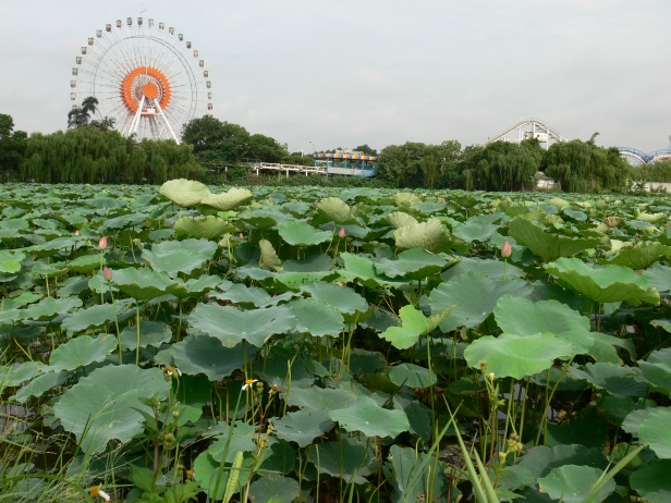 Check out these lotus ponds, just off the road, near the Water Park.
