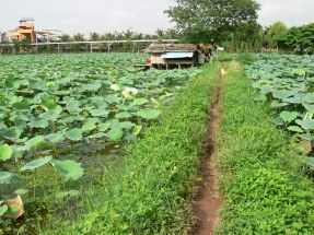 Follow the path to the lotus flower processing work room, used on the wetlands beside Hồ Tây Hà Nội on Ngo 433, Au Co Road, Hanoi. The Hanoi Water Park is in the background.
