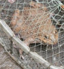 Frog is widely eaten in Vietnam