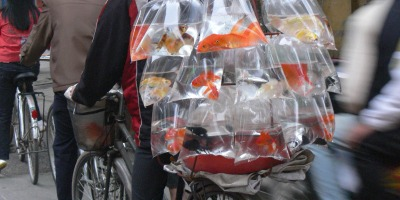 Vietnamese love to have fish in tanks, this guy makes life easy but selling them on the street or door to door.