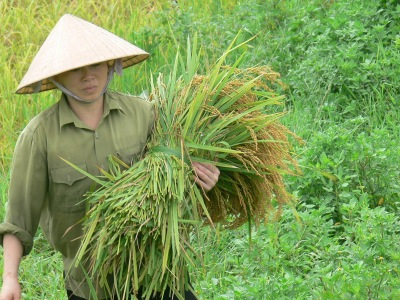 Each bushel of rice is carried to the trailer.