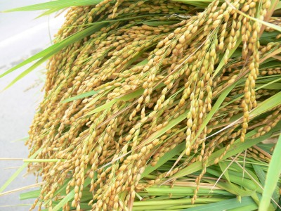 Beautiful hand cut rice straight off the rice paddy.