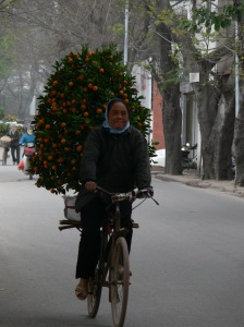 Great balancing skills required as this tree for Tet (Vietnamese New Year) is not a lightweight. It is a kumquat tree laden with tiny wee mandarins which symbolizes good luck and fortune in the coming year.