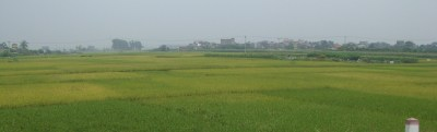 Vietnamese rice is ripening at all different stages.